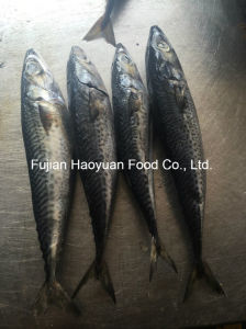 Supply High Quality Frozen Mackerel pictures & photos