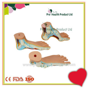 Human Arched Foot Model/ Normal Foot Model/ Flat Foot Model/ Foot Anatomical Model pictures & photos