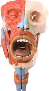 Nasal, Oral, Pharynx and Larynx About Head Anatomical Model