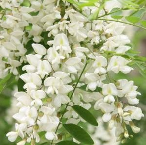 Chinese Supplier Sophora Japonica Extract Rutin pictures & photos