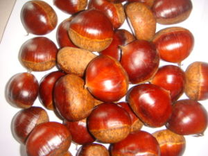 Professional Exporting 40-50 Fresh Chestnut pictures & photos