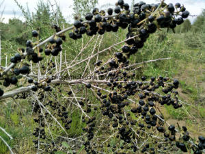 China Black Go Ji Berries China Himalaya Wild Black Goji Berries