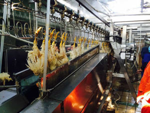 Chicken Slaughter/Killing Machine (200-3000Chickens Per Hour) pictures & photos