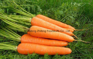 2017 New Fresh Red Carrot pictures & photos