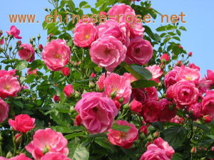 Rose Bushes- 2