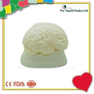 Medical Anatomical Human Brain Model pictures & photos