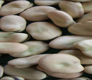 Broad Beans (New-Non-polluted-2012-HS301)