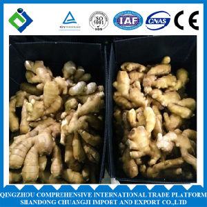 New Crop China Fresh Ginger of 250g Plus