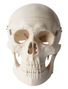 Human Numbered Skull Model