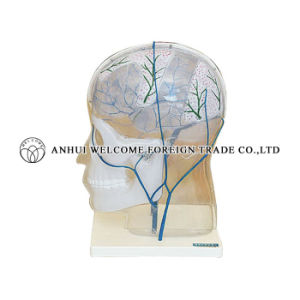 Model of Tcranial Vein Inosculating pictures & photos
