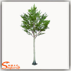 Silver Birch Tree Landscaping Indoor Tree Plants pictures & photos