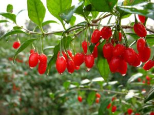 China Goji Berry Extract For Foods And Drinks China