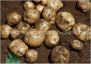Fresh Potato with Competitive Price in Chin