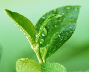 Green Tea Extract for Food and Drink pictures & photos