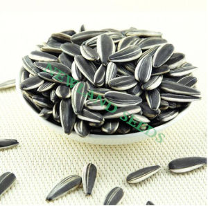 Chinese Green Sunflower Seeds 5009 with High Quality