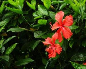 China Hibiscus Plant Hibiscus Plant Manufacturers Suppliers Price