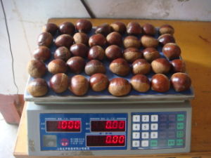 Professional Exporting New Season Fresh Chestnut 40-50 pictures & photos