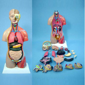 Human Body Torso Anatomical Medical Teaching Supply Model