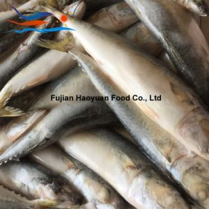 Producing Pacific Mackerel pictures & photos