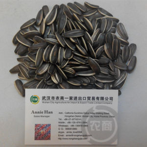 China Origin 5009 Sunflower Seeds