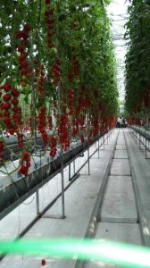 Polycarbonate Sheet Greenhouse for Mini Tomato Growing pictures & photos
