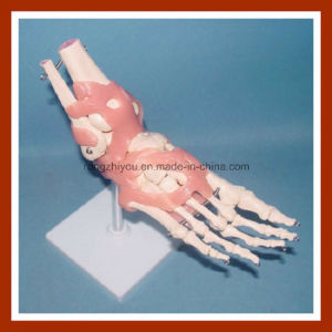 Education Model Life-Size Human Foot Joint Skeleton Model with Ligaments