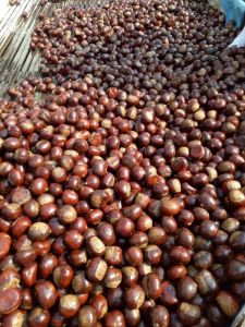Export Professional Tai Shan 60-80 Fresh Chestnut pictures & photos