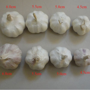 Suppy All Specification Fresh Normal White Garlic in China pictures & photos
