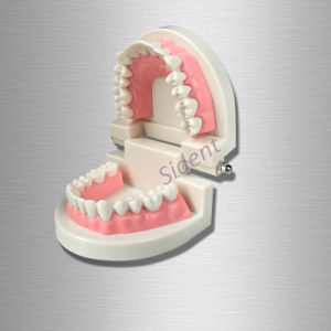 Sino Dental Typodont Dental Teeth Model Teaching Standard Dental Typodont pictures & photos