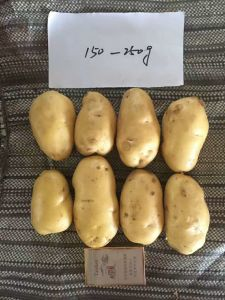 2017new Fresh Potato for Export pictures & photos
