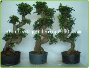 S Shaped Ficus Ginseng Microcarpa Mini Potted Bonsai Tree Indoor Plants Taiwan Banyan Fig Indian