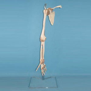 Human Body Upper Limbs Medical Skeleton Anatomical Model (R020905)