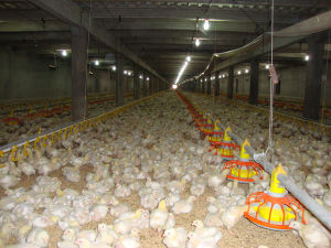 Automatic Feed System for Chicken Farm