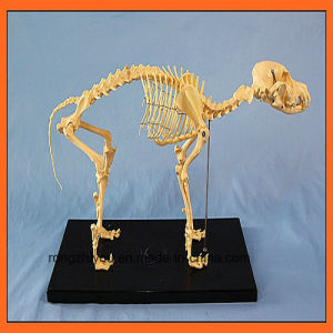 Hot Selling Dog Skeleton Model for Education