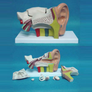 6 Times Enlarged Human Ear Structure Anatomical Medical Model (R070102)