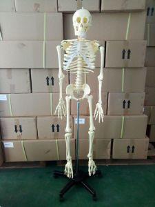 China Human Skeleton, Human Skeleton Wholesale