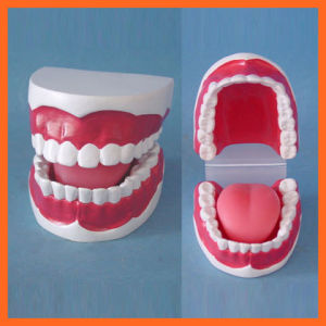 Dental Hygiene Teeth Model for Hospital Equipment