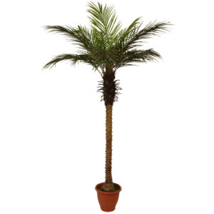 Polyester Artificial Phoenix Palm Tree Plants with 10′′plastic Pot
