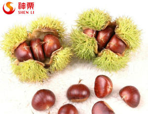 Organic Fresh Chestnut for Sale--The Best Chinese Chestnuts Species