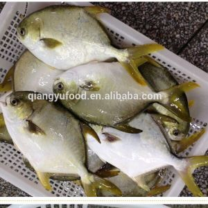 Wholesale Products of Frozen Seafood Golden Pomfret with Competitive Price