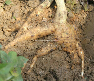 Kudzu Root Extract, Puerarin 40%-98% by HPLC, CAS 3681-99-0 pictures & photos