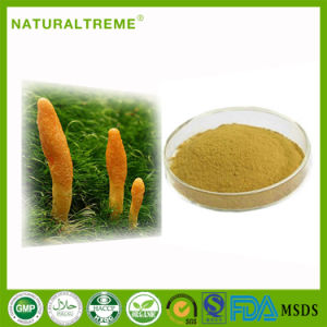 Chinese Traditional Herb Extract Cordyceps Aweto