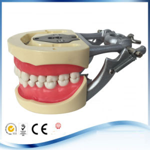 Removable Teeth Study Dental Teaching Teeth Model Adult Typodont pictures & photos