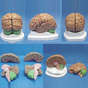 Lab Equipment Natural Size Human Brain Medical Anatomy Model (R050108)