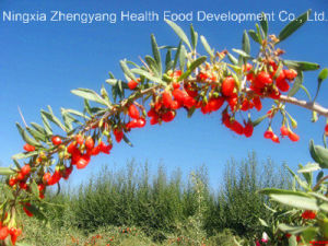 Dried Goji Berry of 2015 New Crop