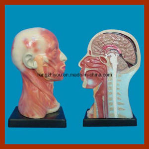 Human Head Cavity and Neck Local Anatomy Model for Educational