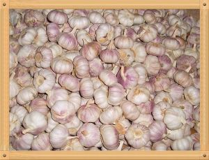 Laiwu Garlic pictures & photos