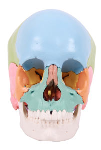 22 Parts Colored Skull, Ife Size Skull Model