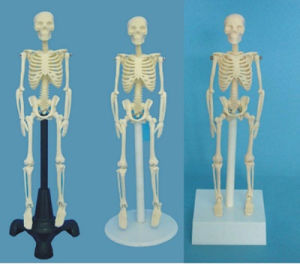 65cm Medical Human Anatomic Skeleton Medical Model (R020203)