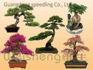 Cina bougainvillea bonsai cina bougainvillea bonsai lista dei